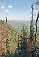 Picea omorika, Tara НП03 02.jpg