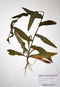 Picris hieracioides BW-1979-0821-9959.jpg