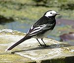 Yarrell Wagtail, Motacilla alba yarrellii   Wagtails Both males were described as two different subspecies within a species: Motacilla alba.