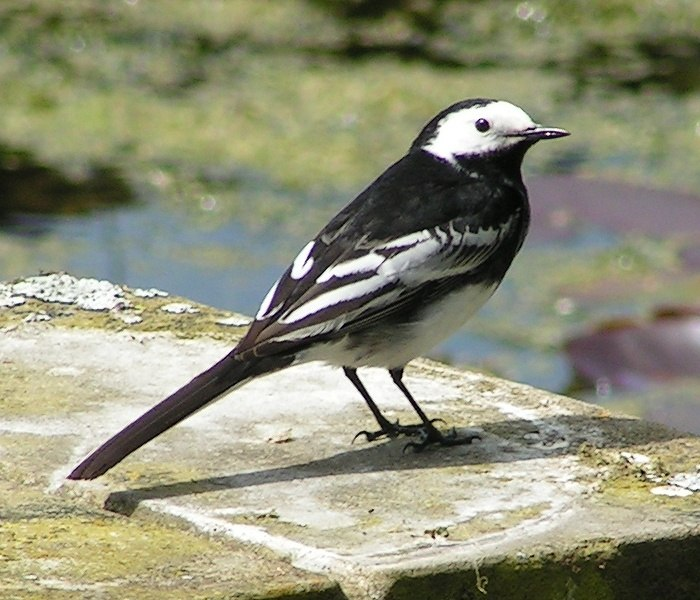 Pied Wagtail rear view 700