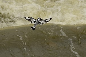 Pied kingfisher (Ceryle rudis) from Kallanai JEG9826.jpg