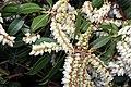 Pieris japonica Scarlet OHara 0zz.jpg