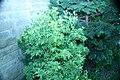 Pieris japonica Whitewater 1zz.jpg