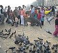 Pigeons in Bombay.jpg
