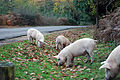 Pigs (1971179052).jpg