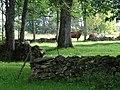 Pikavere küla kiviaiad ja lehmad.jpg