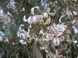 Moringa peregrina - Image: Piki Wiki Israel 2183 Moringa in blossom פריחת המורינגה