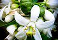 PikiWiki Israel 28684 White Lemon Blossoms.jpg