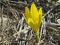 PikiWiki Israel 33659 Sternbergia clusiana.JPG
