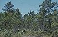 Pine and palmetto. New Providence Island (38839848682).jpg