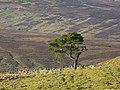 Pine tree, Greencastle - geograph.org.uk - 640353.jpg