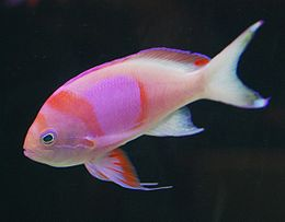 PinkStripeReefFish1