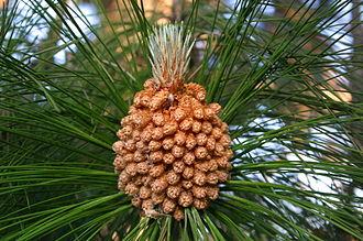 Pinus roxburghii - Male cones