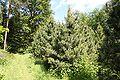 Pinus cembra Rogów 2.JPG