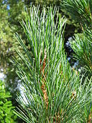 Pinus cembra leaves.jpg