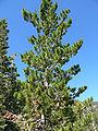 Pinus flexilis 1.jpg