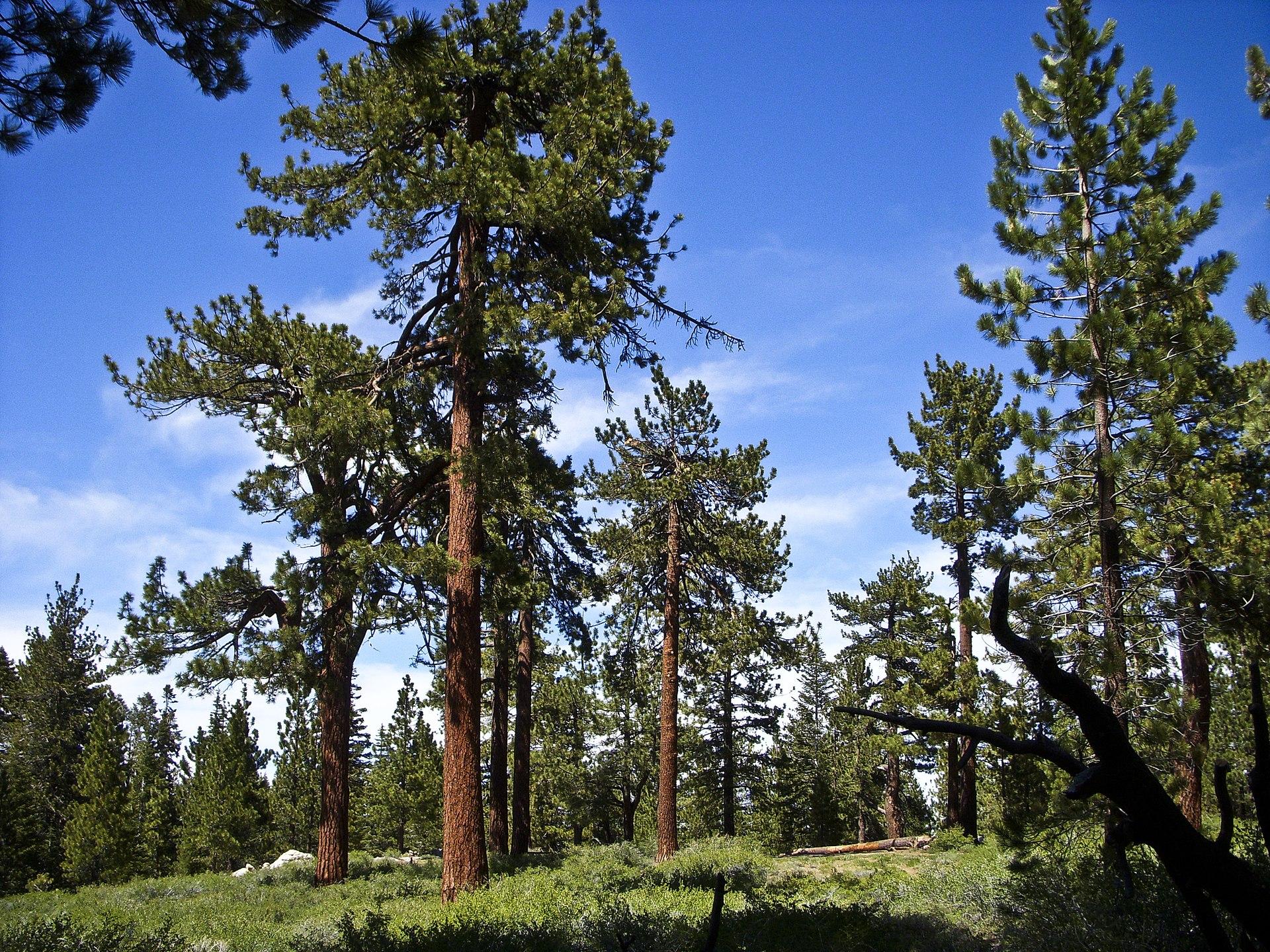 Yellow Pine Wikipedia