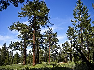 Yellow pine - Jeffrey pine forest on Mount Pinos, California