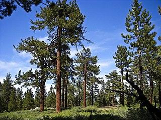 Yellow pine Wikipedia disambiguation page