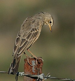 Pipit Plain-backed 2007 04 11 07 45 010784.jpg