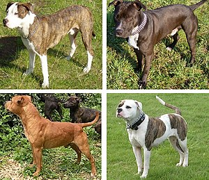 Pit bull - A selection of pit bull type dogs. Clockwise from top left: American Pit Bull Terrier, American Staffordshire Terrier, American Bulldog, Staffordshire Bull Terrier.