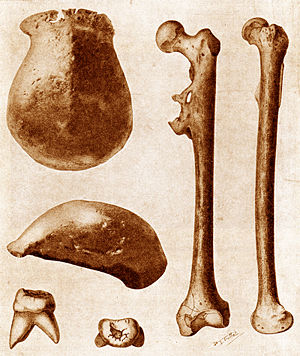 Java Man - The three main fossils of Java Man found in 1891–92: a skullcap, a molar, and a thighbone, each seen from two different angles.