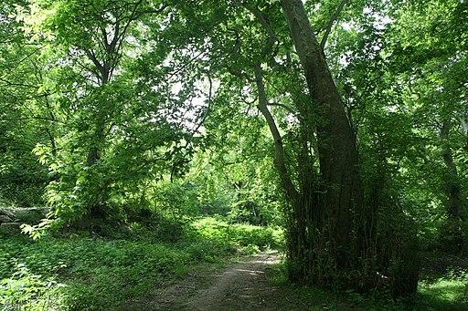 Plane tree Grove Tsav River2