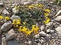 Plant of Teghenis 36.jpg