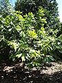 Planta del Cacao.JPG
