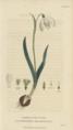 Plate 7 Galanthus Nivalis - Conversations on Botany-1st edition.tiff