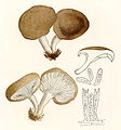 Pleurotus eryngii (Bresadola, 1928).jpg