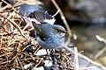 Plumbeous Water Redstart (188861813).jpeg