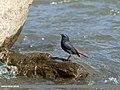 Plumbeous Water Redstart (Rhyacornis fuliginosa) (31668529497).jpg