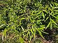 Podocarpus elatus foliage.jpg