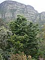 Podocarpus latifolius - young Yellowwood - Table Mountain - 9.JPG
