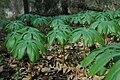 Podophyllum peltatum Single Leaf.JPG