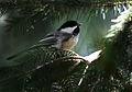 Poecile atricapillus (5060979079).jpg