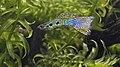 Poecilia reticulata - Guppy, male, cobra-green morph.jpg