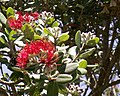 Pohutukawa flower2.jpg