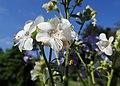 Polemonium caeruleum kz05.jpg