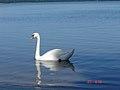 Polish Swan.jpg