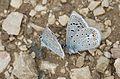 Polyommatus cornelius - Çokgözlü Küçük Turan Mavisi 03.jpg