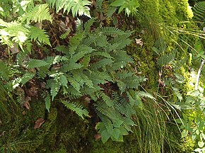 Description de l'image Polypodium virginianum, Pancake Bay PP.JPG.