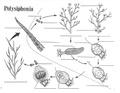 Polysiphonia Life Cycle.pdf