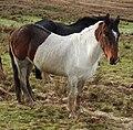 Ponies (33653205921).jpg