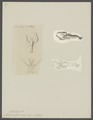 Pontonia tyrrhena - - Print - Iconographia Zoologica - Special Collections University of Amsterdam - UBAINV0274 097 07 0003.tif