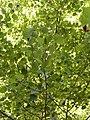 Populus alba6.JPG