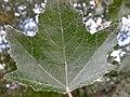Populus alba (5002312695).jpg
