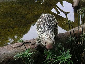 Rothschild's porcupine - Image: Porcupine 6