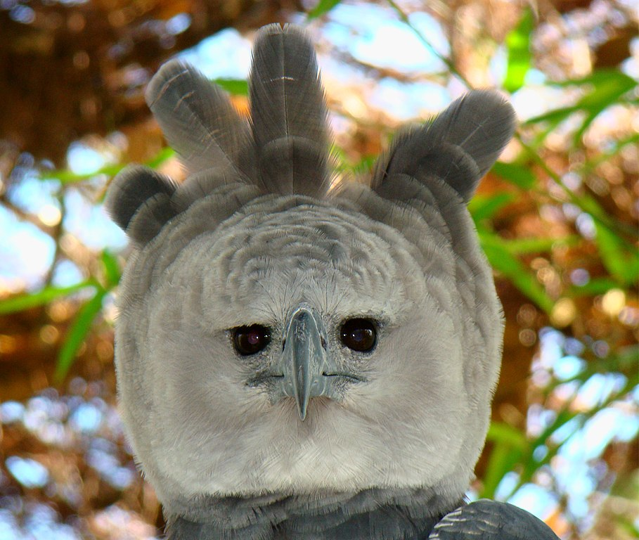the disappointed american harpy eagle photoshopbattles